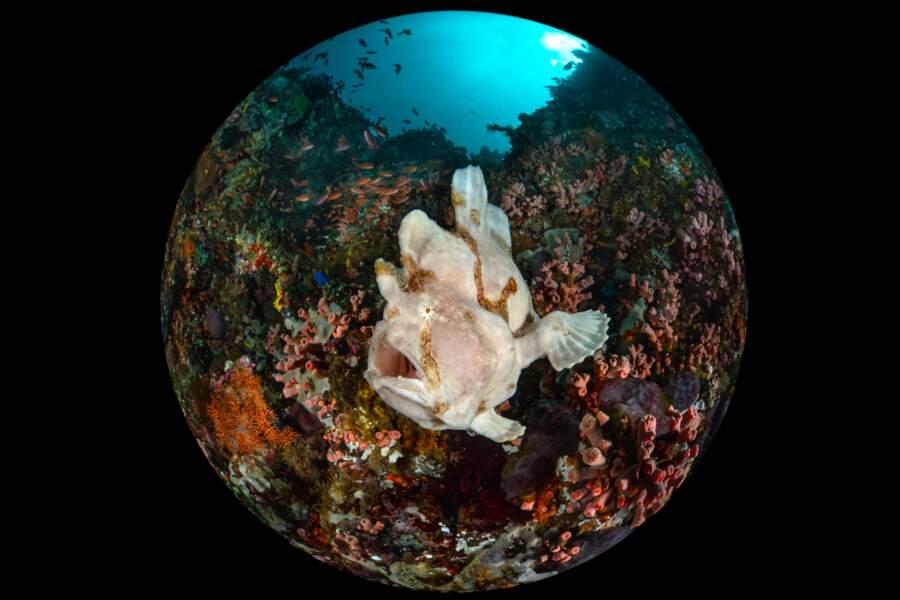 Poisson-grenouille géant
