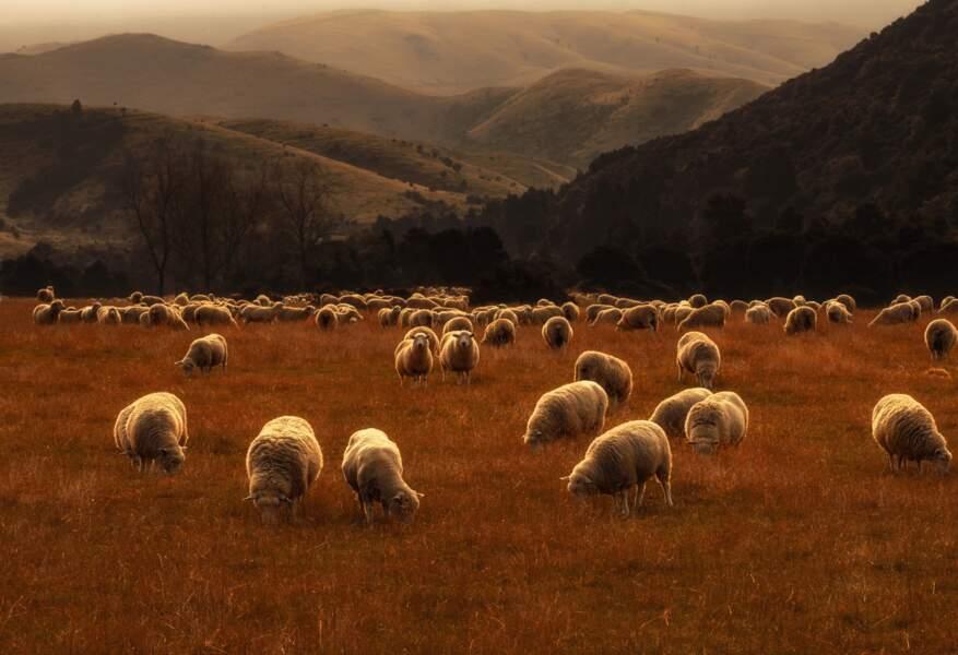 Moutons dorés