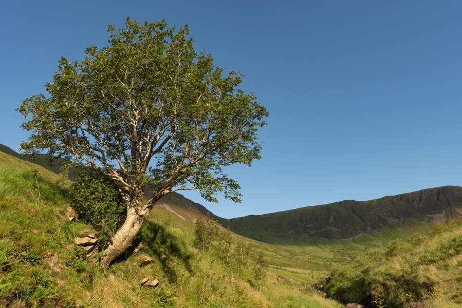 Royaume-Uni : l'arbre survivant
