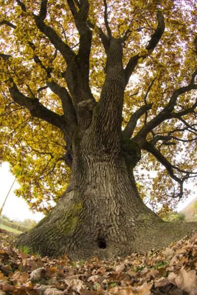 Slovaquie : le chêne ancien de Drnava