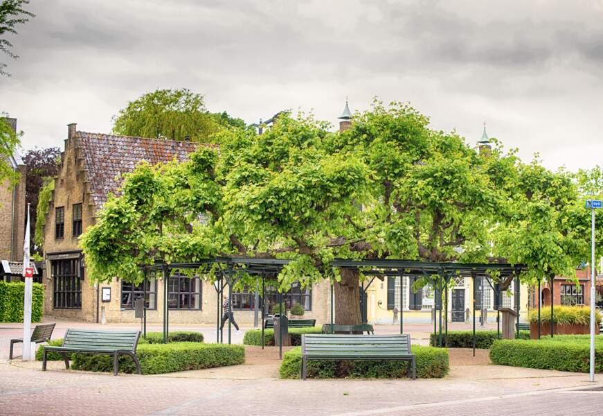 Pays-Bas : l'ancien arbre-mère