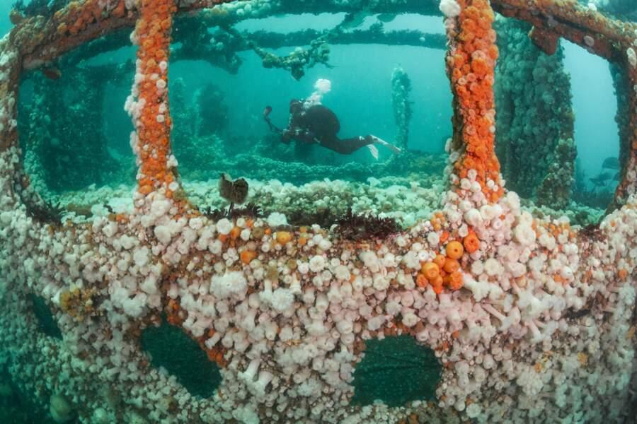 Une épave devenue récif artificiel