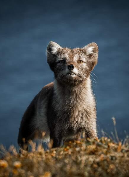 Rencontre avec le renard arctique