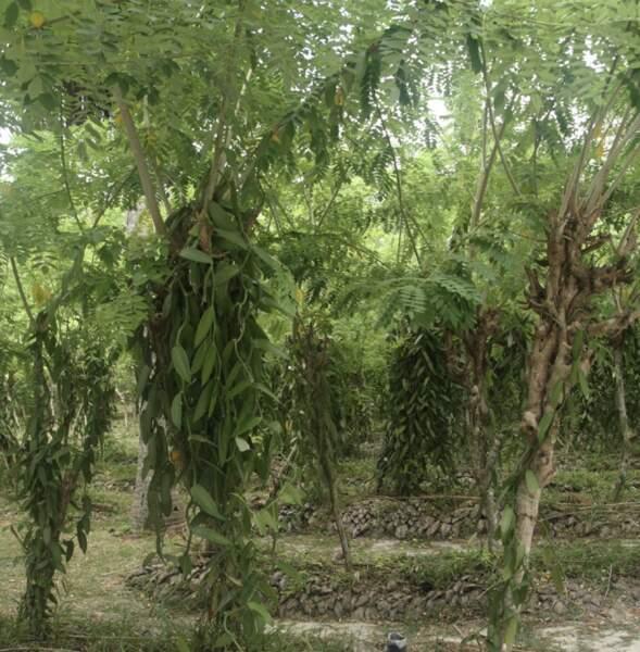 Des arbres pour tuteurs !