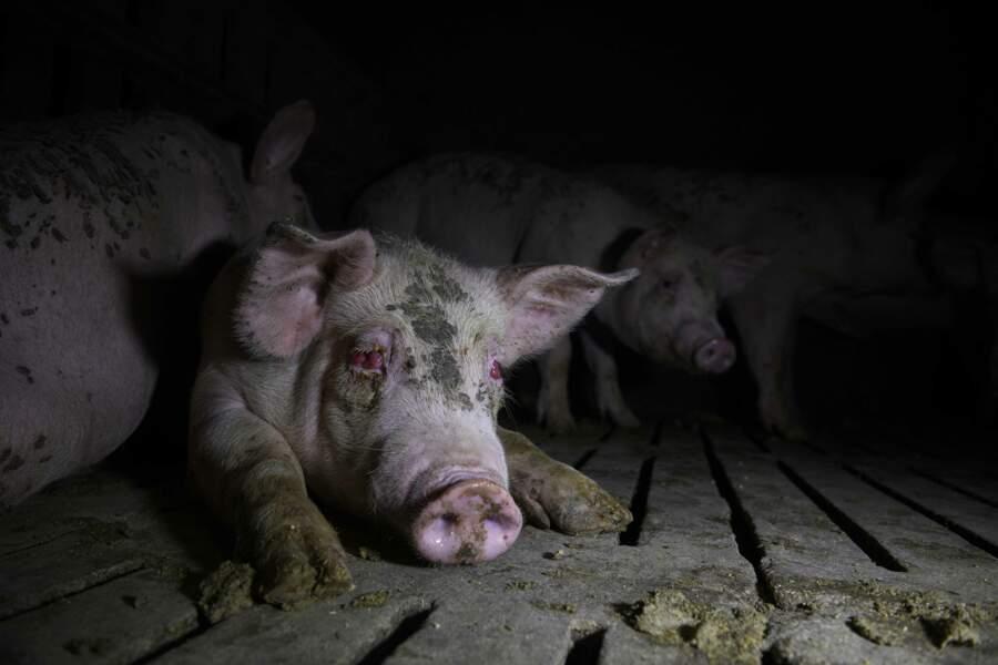 Au cœur de l'industrie porcine espagnole