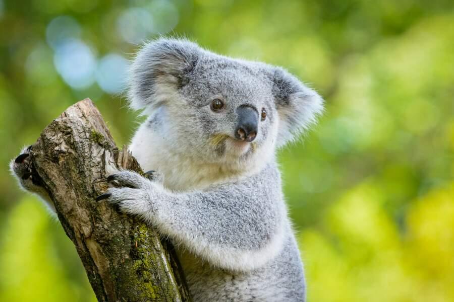 Tout ce qu'il faut savoir sur le koala, emblème de l'Australie