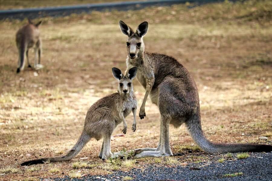 Tout ce qu'il faut savoir sur le kangourou
