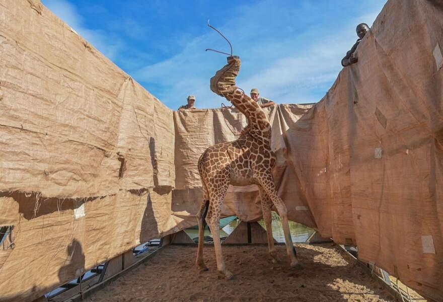 Opération sauvetage de girafes sur une île inondée, au Kenya