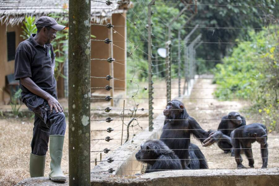 Protéger les grands singes du Covid-19
