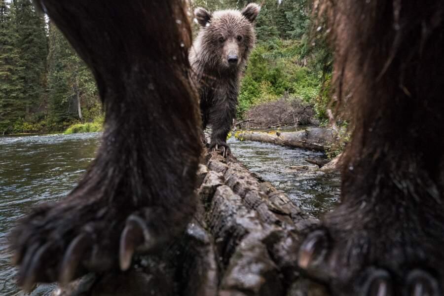 Le grizzly fait des heures sup'