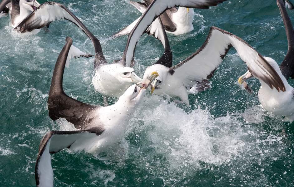 Le royaume des Albatros