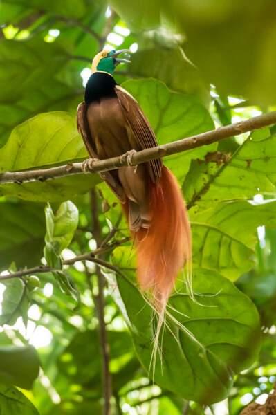 Emplème de la Papouasie, un oiseau de paradis