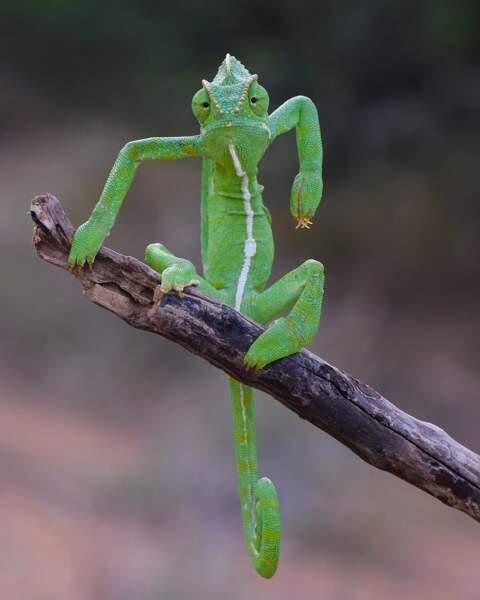 Rien n'effraie ce caméléon indien photographié dans les Ghats occidentaux, pas même Hulk