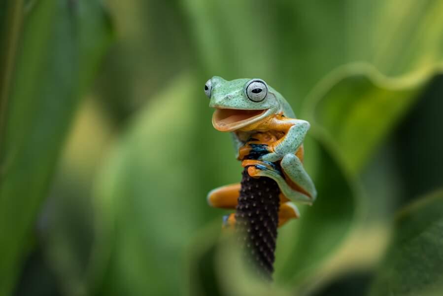 Valeureuse grenouille arboricole à Tangerang, en Indonésie