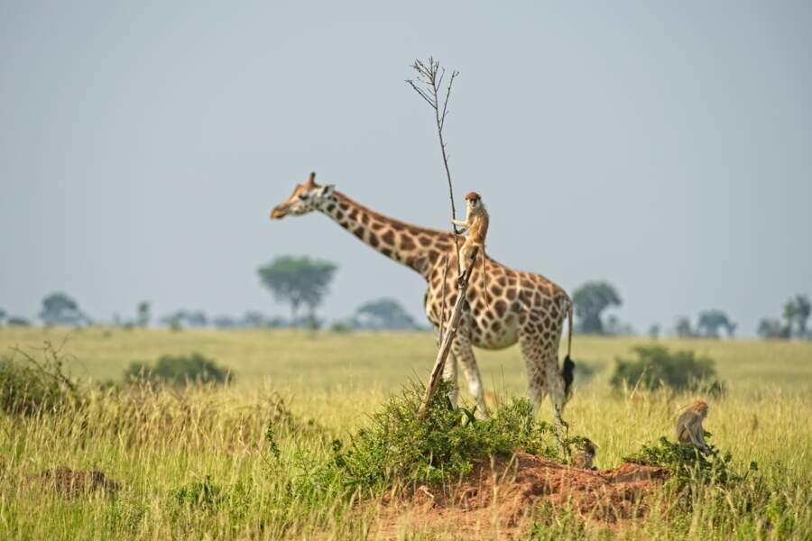 Monture au long cou dans le parc national Murchison Falls, en Ouganda