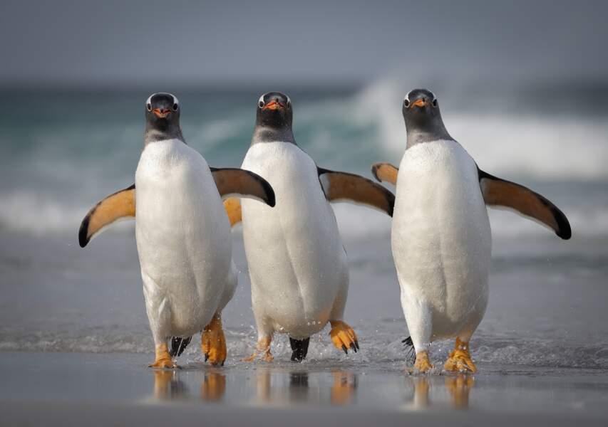 Trio de manchots papous dans les îles Malouines