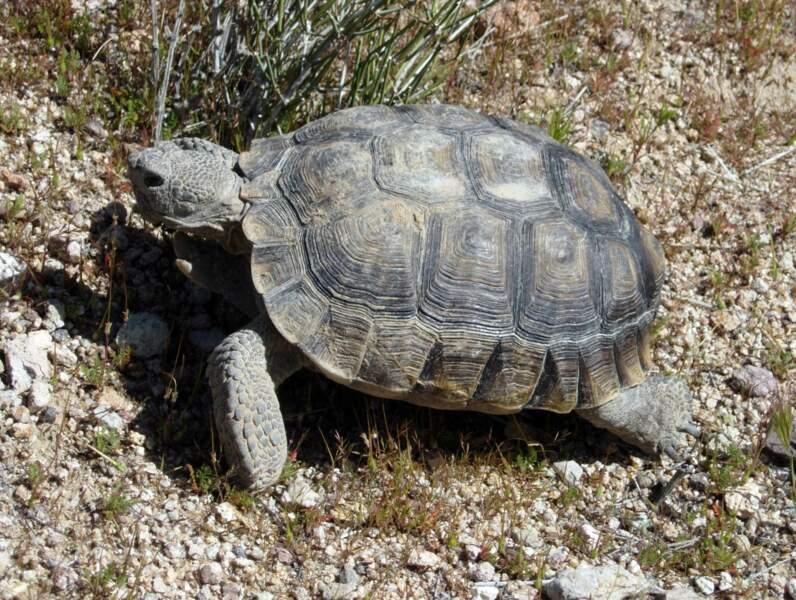La tortue du désert
