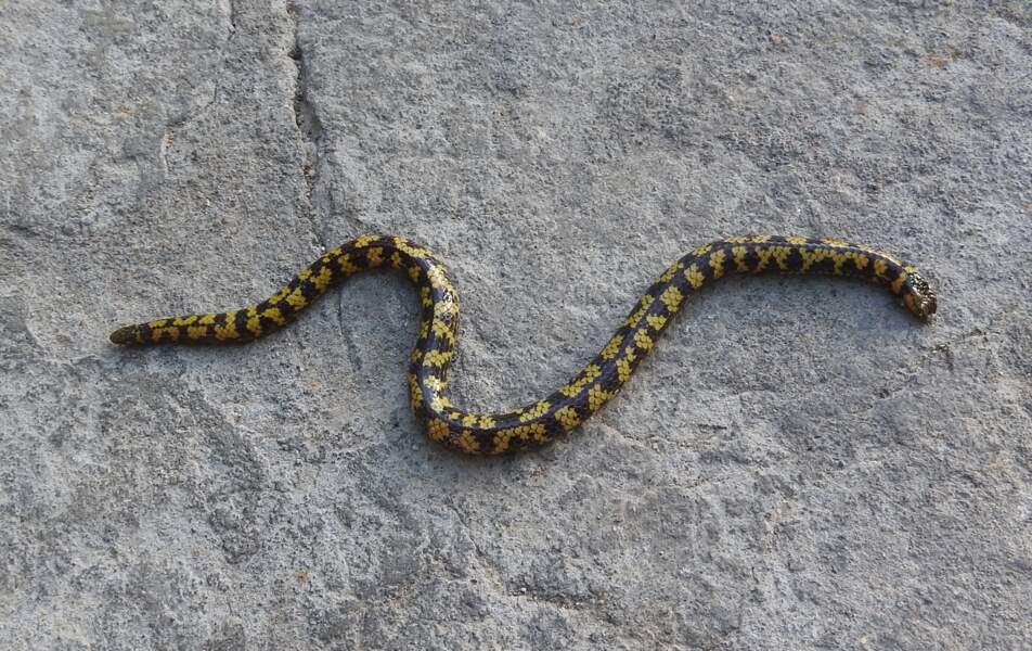 Le serpent terrestre des collinesdeShevaroy