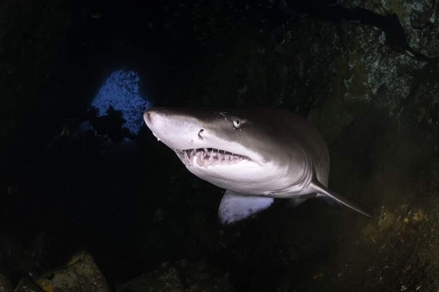 Le requin-taureau
