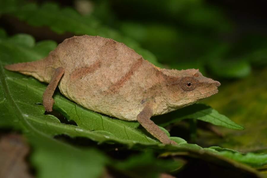 Le caméléon pygmée de Chapman