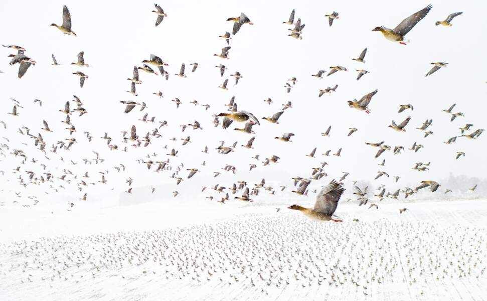 Des oies rencontrant l'hiver