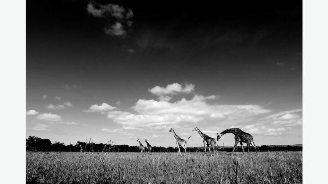 Balade de girafes