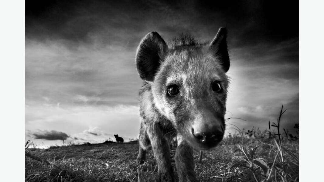 Hyène curieuse