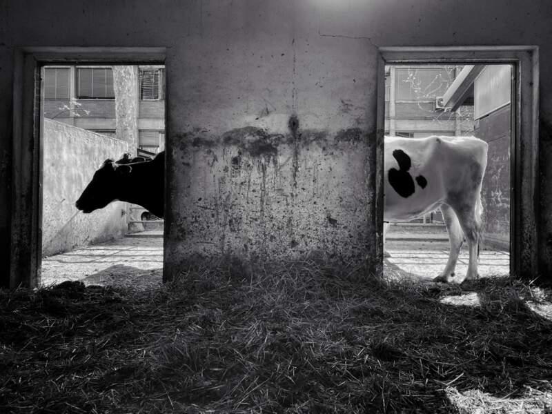 Vache à rallonge