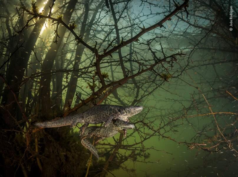 Là où les salamandres géantes se reproduisent