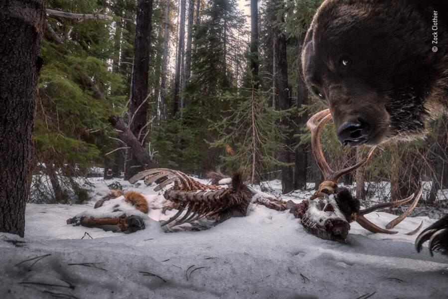Souvenirs de grizzly